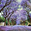 JACARANDA TREE SEEDS JACARANDA MIMOSIFOLIA HARDY FLOWERING ...
