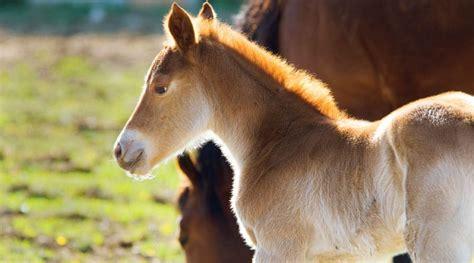 horse babies many gestation