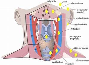 Diagram  Neck Throat Anatomy Diagram