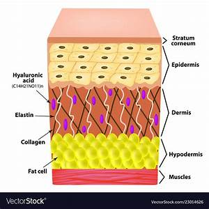 Anatomical Structure Of The Skin Elastin Vector Image