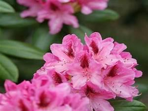 Rhododendron Blüht Nicht : garten wenn der rhododendron bl ht ~ Frokenaadalensverden.com Haus und Dekorationen