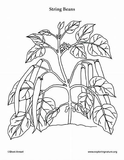 Coloring Plant Parts Pages Printable Sheets Getcolorings