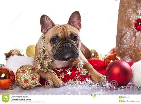bulldog  christmas decoration stock photo image
