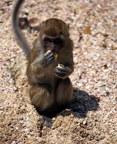 Thailand Monkey Monkeys Eating Macaque Biscuit Nang
