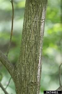 butternut, Juglans cinerea (Juglandales: Juglandaceae ...