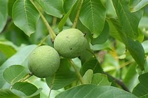 Walnussbaum Selber Pflanzen : schnitt des walnussbaums nabu baden w rttemberg ~ Michelbontemps.com Haus und Dekorationen