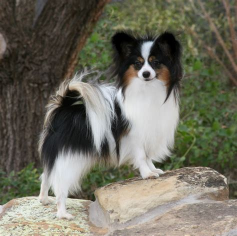 Cute White Puppies Wallpaper Black Papillon Dog Breed Puppy