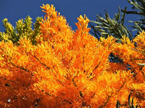 free stock photos rgbstock free stock images australian christmas tree tacluda october
