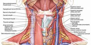 Neck Diagram  Anatomical