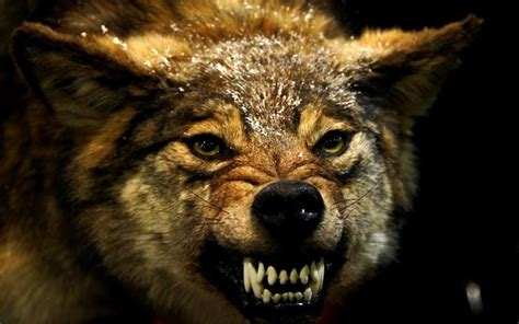Angry Wolf Wallpaper Black by Angry Wolf Wallpapers Hd Wallpaper Cave