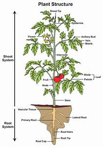 Okra Plant Diagrams