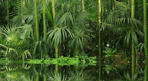 plantes dans la chambre bambou entretien arrossage et rempotage