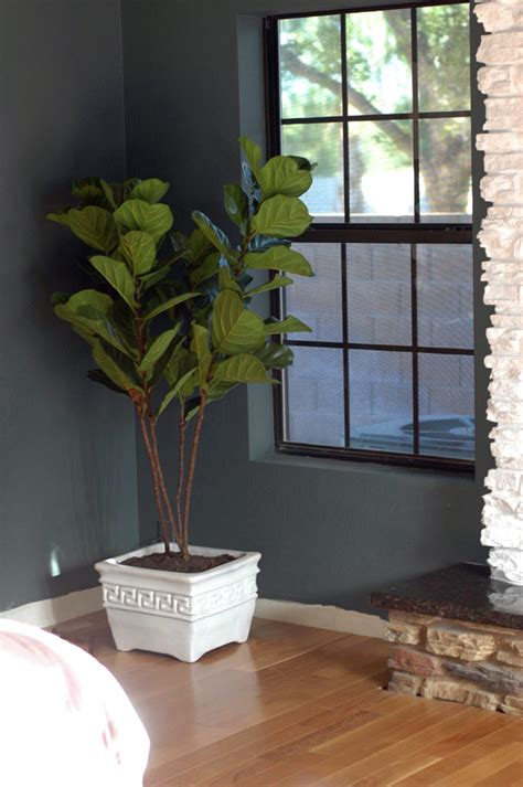 Cheap And Easy To Find Fiddle Leaf Fig Trees Little