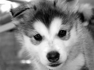 Cute Baby Siberian Husky Wallpaper Background   baby ...