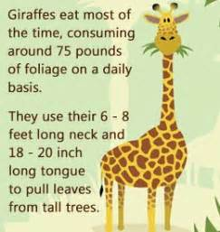 stupefying facts  giraffes     gawk
