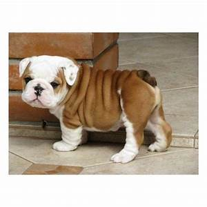White Teacup French Bulldog Full Grown | www.imgkid.com ...