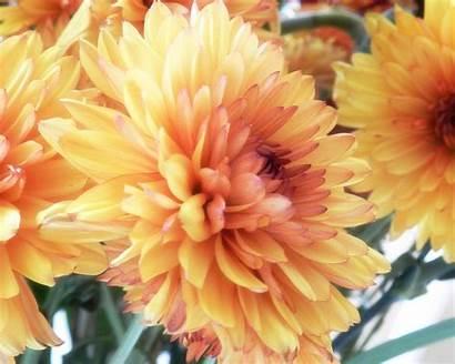 Chrysanthemums Cut Flower Press Orange Last
