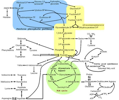 metabolic pathways summary google search mcat study