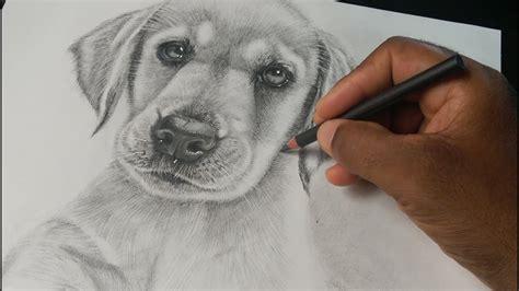 Como Dibujar Un Perro Realista Labrador Retriever Cachorro