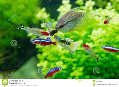 poissons exotiques dans l aquarium d eau douce photo stock image 38973169