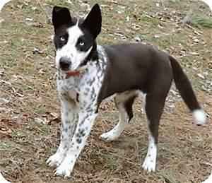 ASHLEE | Adopted Dog | Salem, NH | Husky/Australian Cattle ...
