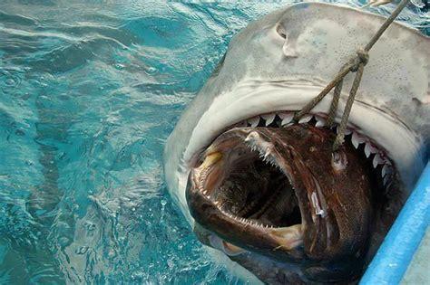tiger shark eating grouper fish sharks eat imgur getting fishing