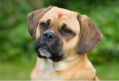 Puggle Dog Breed Breeds Face Below