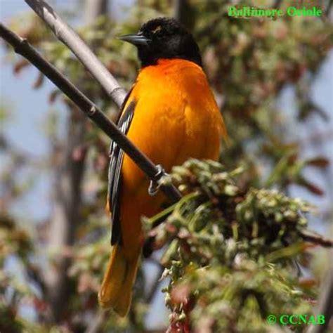 orange birds birds by color north american birds