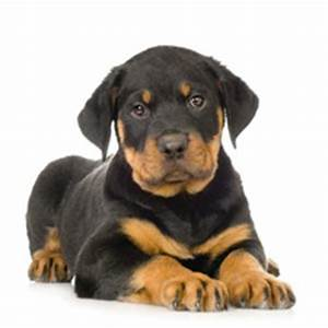 Miniature Rottweiler | Small Breed Dogs