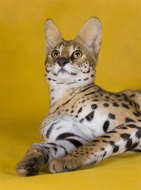Complete Guide To Savannah Cats  The Happy Cat Site