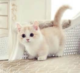 munchkin cats adorable legs of munchkin cat and