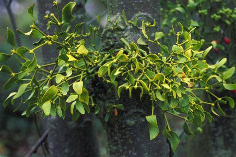 european mistletoe nccih