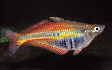 learn  exotic freshwater fish fish compatibility