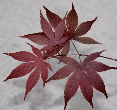 maple leaves japan japanese maples root s nurseries manheim pennsylvania
