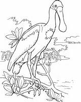 Spoonbill Roseate Coloring Bird Clipart Supercoloring Printable Watercolor Drawing Colouring Outline Drawings Animal Pink Cliparts Pattern Sheets Adult Categories Printables sketch template