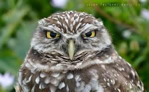 South Florida Burrowing Owls