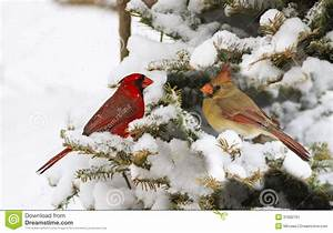 Stock Image: Northern Cardinal pair. Image: 31692761