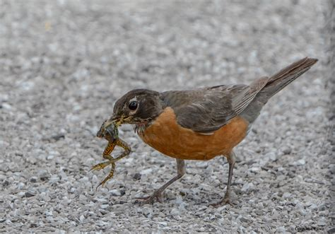 robins eat frogs  learn   day