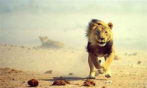 Lion Running GIF - Find & Share on GIPHY