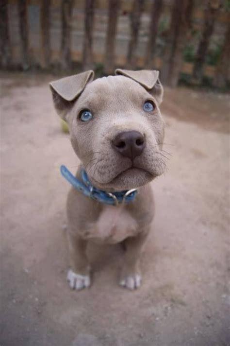 grey pitbull puppy  blue eyes adorable mans