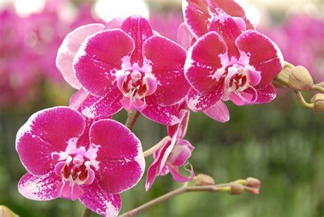 reblooming orchids phalaenopsis phalaenopsis matsui nursery celebrating 50 years of beautiful