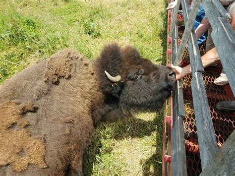 bison ranch cook wolcottville tripadvisor