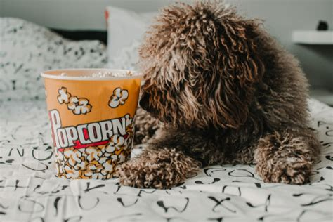 dogs eat popcorn  popcorn bad  dogs certapet