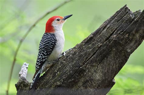 birds of new york woodpeckers