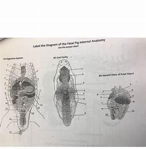 Internal Anatomy Of A Pig