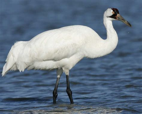 whooping crane audubon field guide