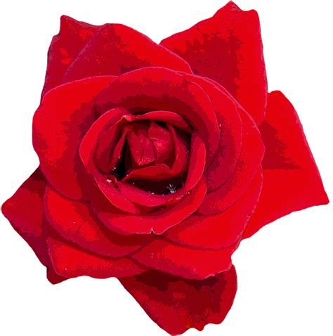 ilustrasi gratis mawar merah bunga bunga gambar