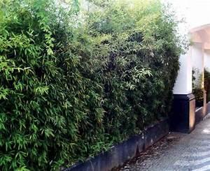 Bambus Im Garten : bambus im garten entdecken sie algarve ~ Michelbontemps.com Haus und Dekorationen