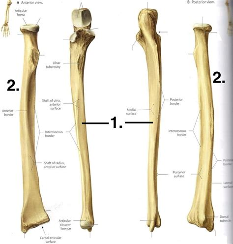 Ulna Diagram Neck by Bones 2 At Normandale Community College Studyblue