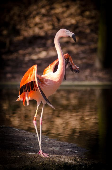 pink  red flamingo standing  body   stock photo